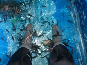 Would you put your feet in a tank with relatives of the pirahna fish?